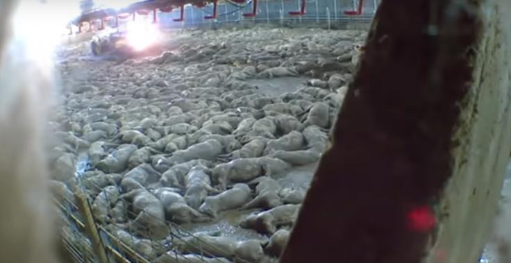 Mass Killing of pigs