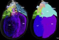 3D view of rat heart