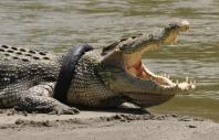 2m-long crocodile caught 'loitering' outside shopping mall in Malaysia