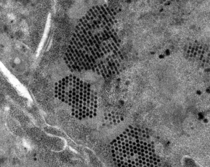Adenovirus Particles