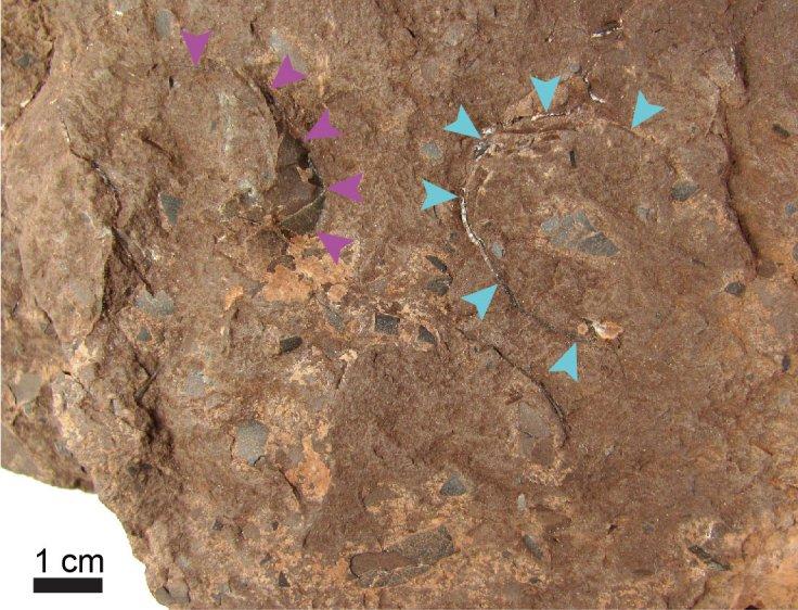 Himeoolithus murakamii