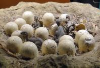 Dinosaur Eggs Model