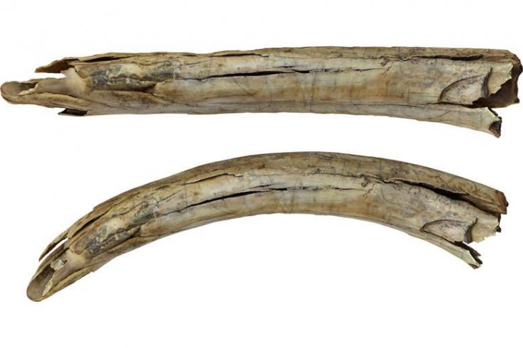Ancient Engravings On Tusks