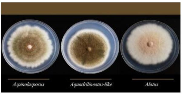 Aspergillus Latus Has Been Found in a Hospital