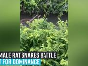 two-male-rat-snakes-battle-it-out-for-dominance