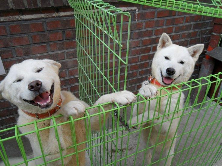 Pungsan or Poongsun dogs
