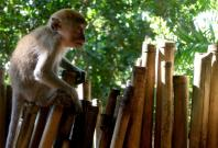 Monkeys Used as Tools for Making Money