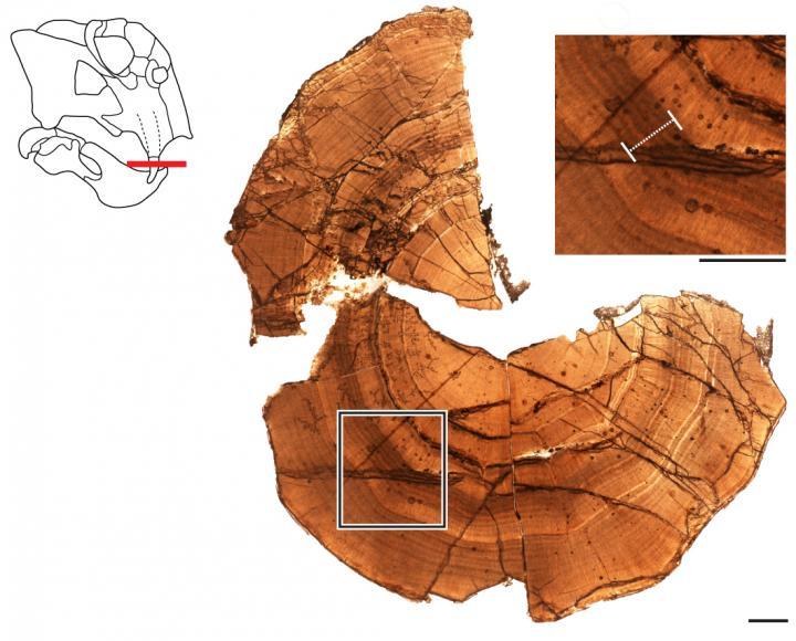 Thin-section from Antarctic Lystrosaurus tusk