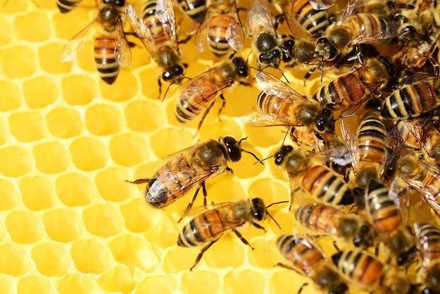 Bee Venom testicular atrophy