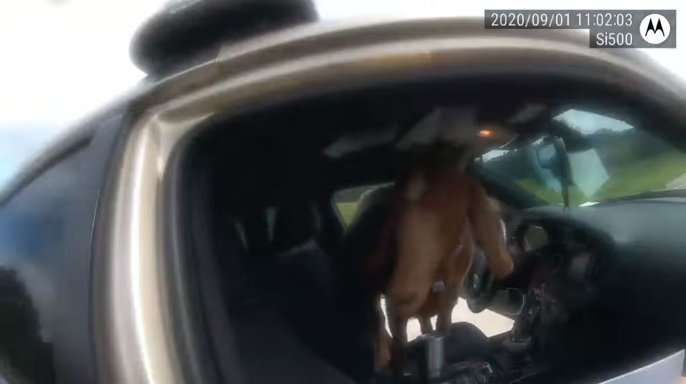 Vandal goat jumps into police car and starts eating paperwork