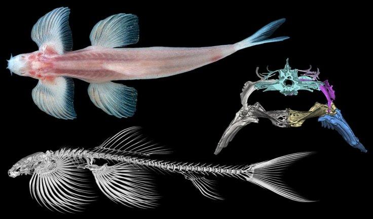 Cave angel fish