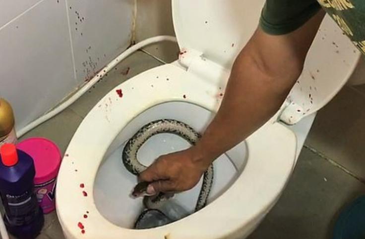 snake in toilet