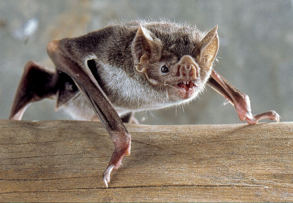 Vampire bats 'socially distance when they are sick'