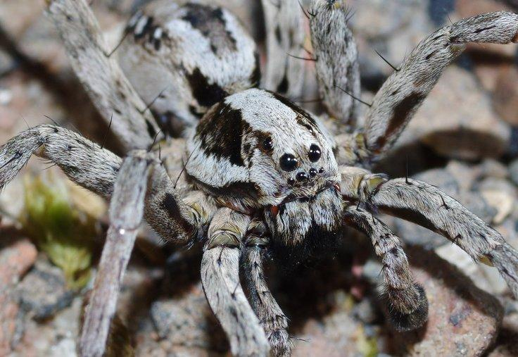 The Great Fox Spider