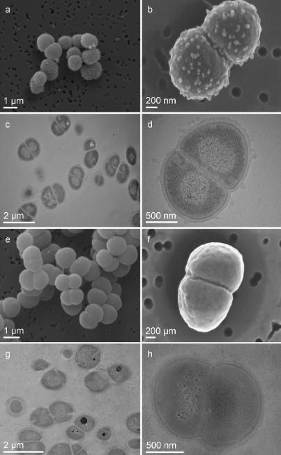 D. radiodurans cells