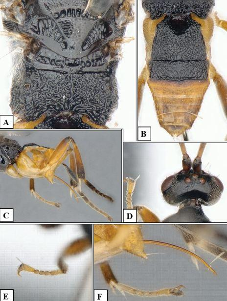 Microgaster godzilla