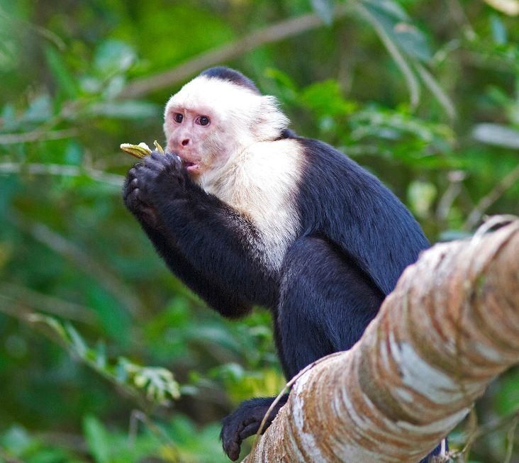 Panamanian white-faced capuchin