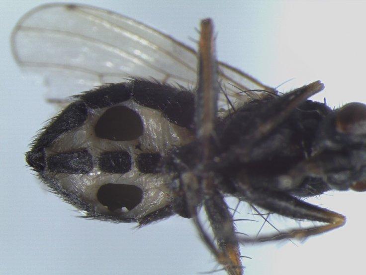 Coenosia tigrina