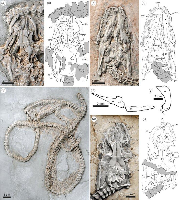 Snake fossil