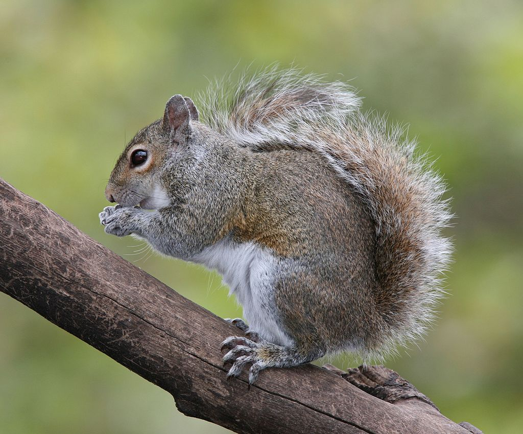 Rogue squirrels attacking New Yorkers in Queens