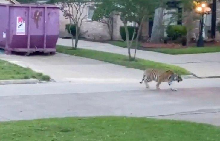 The Bengal tiger on the loose