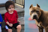 Toddler killed by pitbull