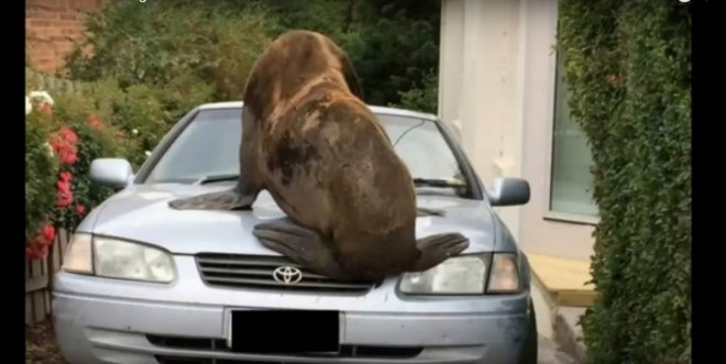 Mr Lou-Seal sitting on a car