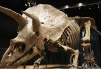 Skeleton of the world's biggest Triceratops