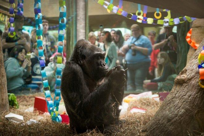 Colo, the world's oldest gorilla in captivity dies after 60 years in Columbus Zoo