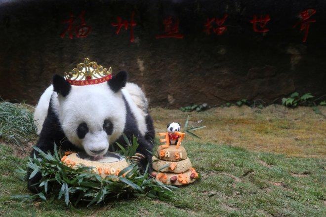 Happy Birthday Basi! World's oldest captive panda turns 37