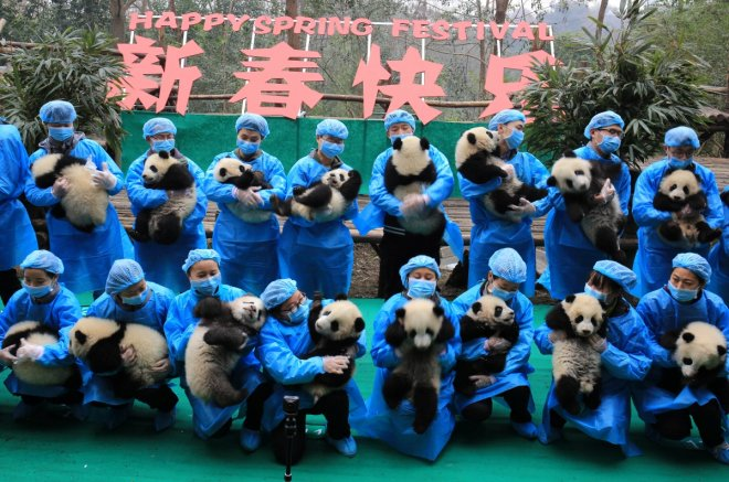 Happy beary Chinese New Year: 23 squirming panda cubs poses for greeting in China