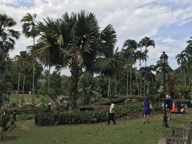 Tembusu tree crashes at Singapore Botanic Gardens