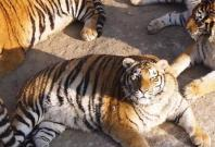 Obese Tigers in China