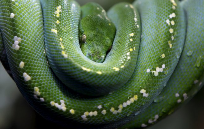 Python strangles Indonesian man to death in Malaysia