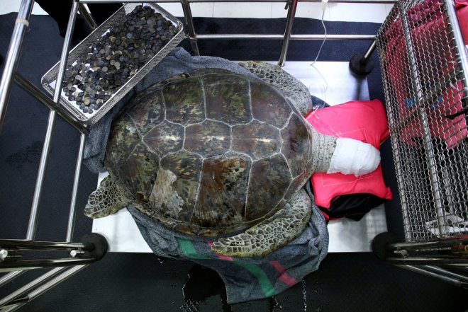 915 coins removed from turtle's stomach in Thailand