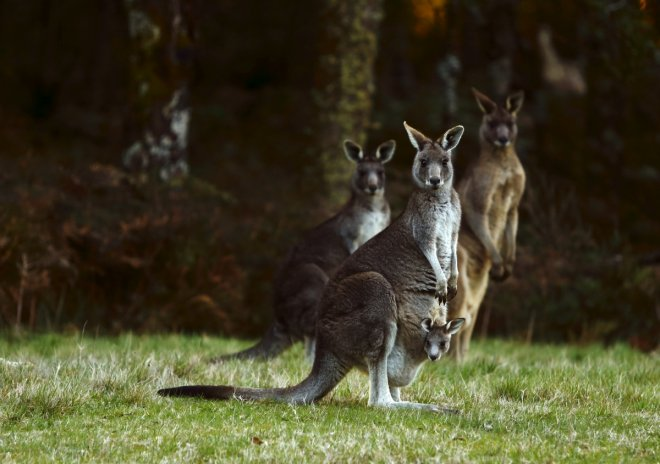 Tourist throws stones at kangaroos in China zoo to get them hopping
