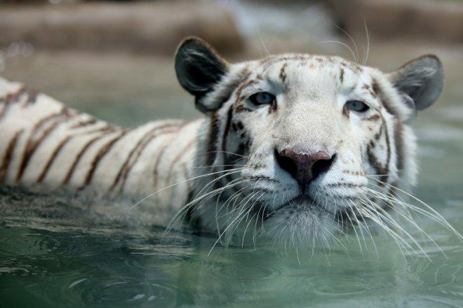 Omar, Singapore Zoo's white tiger, dies at 17 after failing health