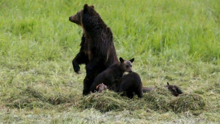 Yellowstone grizzly bears no longer endangered species